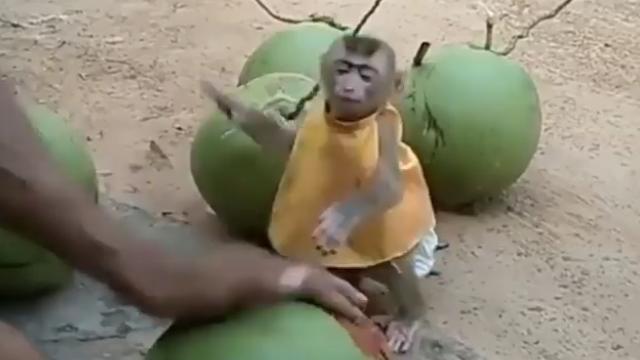 Impatient little monkey wants to drink coconut juice