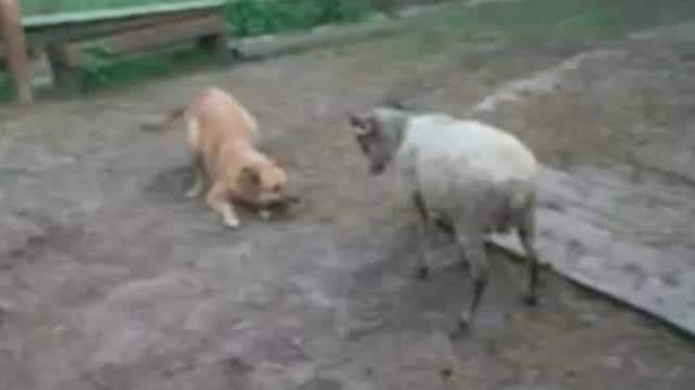 The dog and the sheep – Fun battle