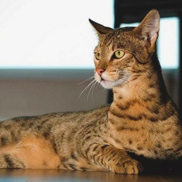 Ashera – The Expensive $22,000 Pussy err Luxury Cat!