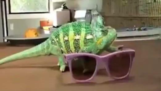 Chameleon – Amazing Transformation