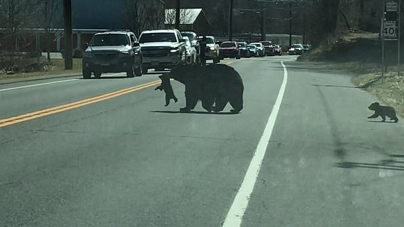 A mother bear trying to get the cubs safely across Rowley Street